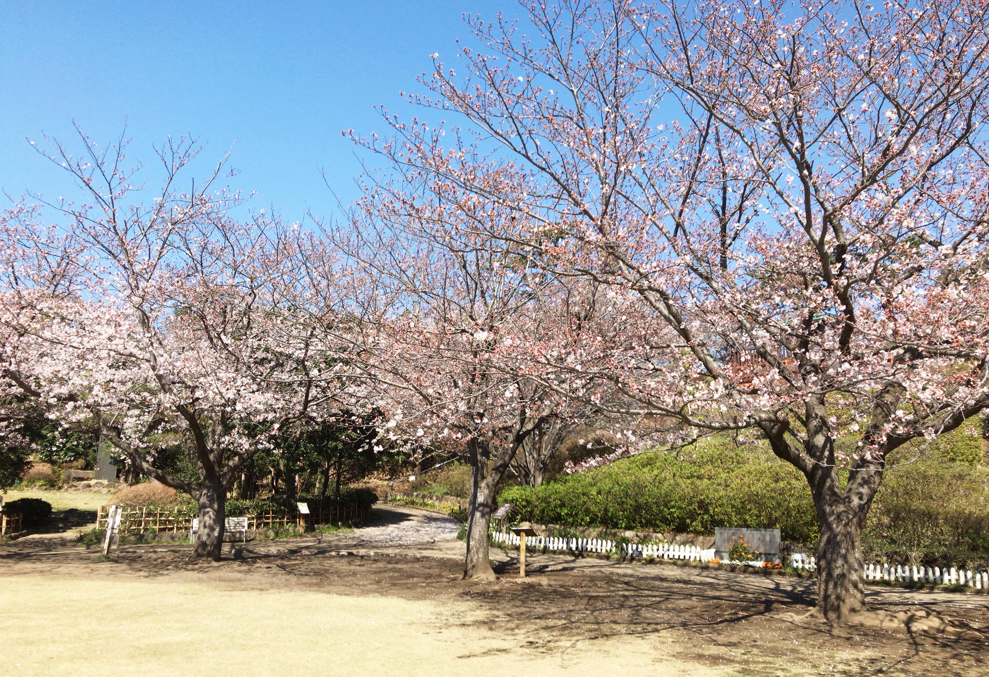 長久保公園の桜