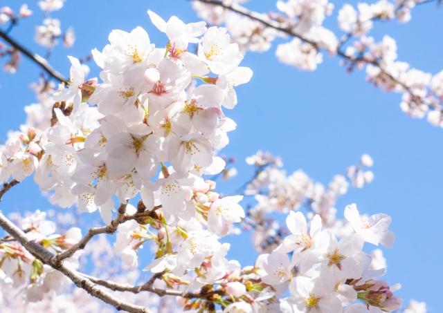 藤沢市 桜 お花見 公園